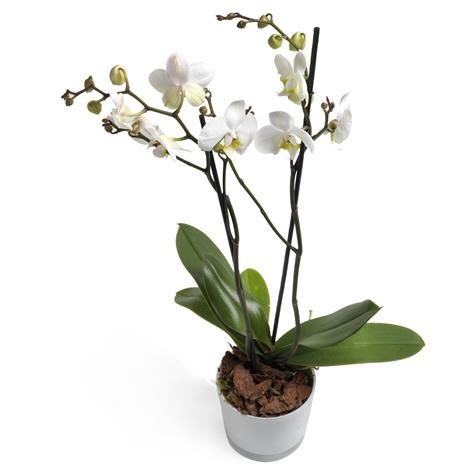 Ορχιδέα Φαλενόψις ,δίκλωνη ορχιδέα Phalaenopsis | Αποστολή λουλουδιών και φυτών